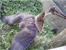 Australasian harrier hawk trapped in a banned leg-hold trap.