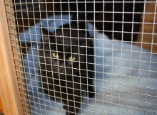 A cat surrendered for care awaits treatment.