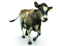 """Rosie the cow – the New Zealand dairy industry's new """"cowbassador""""."""