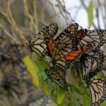 Monarch butterflies seek shelter in the willows at Apollo Park.