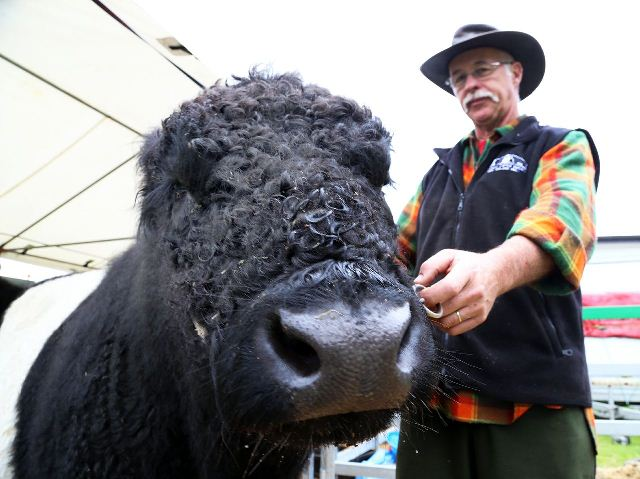 POPULAR PRETTIES: Graham Turner with a Galloway cattle. Photo:Evan Xiao