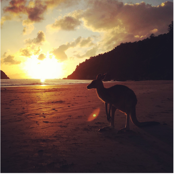 G'DAY: A kangaroo greets Instagrammers on Hillsborough Beach in Queensland. Photo: Sarah Biss