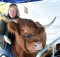 Ginni Alexander with a cattle that is part of their strategy to attract the crowds. Photo: Awhina Kerr
