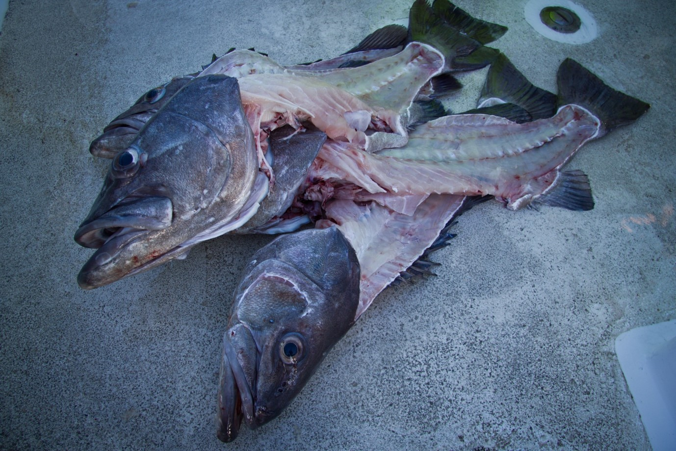New app puts fish head lovers in touch with fishers the for Fish head app